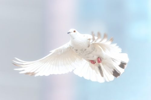 This image has an empty alt attribute; its file name is dove-2680487_1920-1-500x333.jpg